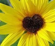 I heart sunflowers!