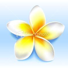 Beatiful yellow white frangipani, plumeria, shoji flower Royalty Free Stock Vector Art Illustration