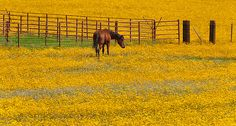 """Field of Sunshine"" - An almost surreal field of yellow and white flowers with a lone horse having a nibble. Photographed near Flagstaff, Arizona. © Jason Greashaber"