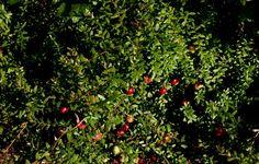 Amerikankarpalo  on hyvä hyötymarja, jonka maku paranee pakkasten jälkeen. Karpalo poimitaan myöhään syksyllä tai varhain keväällä. Marjat säilyvät yli talven varastossa vaikka siltään.