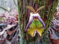 Delicate newly emerged Luna Moth. Cohutta Wilderness area.