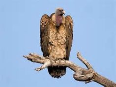 Vultures - - Yahoo Image Search Results