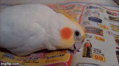 funny baby Cockatiels Parrot Biting and then fell asleep--【Pet Animals 可愛寵物、動物區-討論區-funny.baibai.com.tw 】