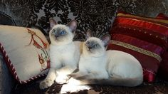 Sweet blue point sibling pair StormHaven's Kealani and Leila, ('Egyn' and 'Eshe').