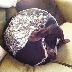 10 Things Only a German Shorthaired Pointer Owner Would understand.  Ranger is an English pointer so he's black and white but this is soooo him!