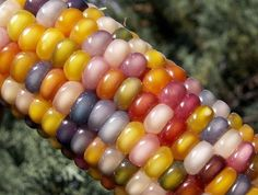 This is corn. Real, edible corn Not glass! It's the beautiful Glass Gem Corn from Native Seeds in the USA. Colored Corn, Colored Glass, Oklahoma, Rainbow Corn, Rainbow Glass, Rainbow Magic, Flint Corn, Glass Gem Corn, Glass Beads