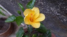 Yellow Jasood Flower
