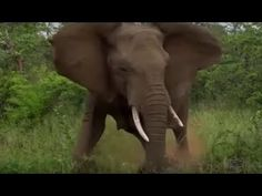 Terrifying Elephant Stampede in Kruger National Park. These Elephant were actually chasing off a Lion pride which got to close(not visible in the video), whe. Kruger National Park Safari, National Parks, African Elephant Facts, Herd Of Elephants, Lion Pride, Night Driving, African Safari, Family Camping, Wildlife