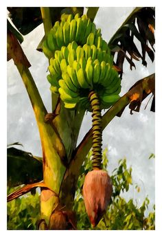 Banana Trees With Fruits And Flower In Lush Tropical Garden Painting  - Banana…