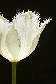 [CasaGiardino]  ♛  flowersgardenlove:  White Fringed Tulip Beautiful gorgeous pretty flowers