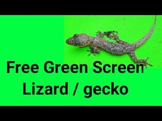 Green screen lizard /gecko Hi and hlo from ylo, This is your free green screen footage from the yelo felo, Use this clip in your videos . Free Green Screen, Green Screen Footage, Cats, Projects, Log Projects, Gatos, Blue Prints, Cat, Kitty