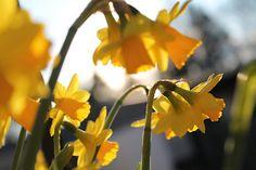 vardagens guldkorn: trädgård Daffodil