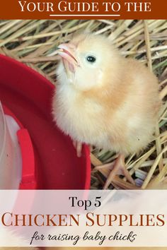 The 5 basic essentials to raising chicks. #babychicks #homesteading #chickens