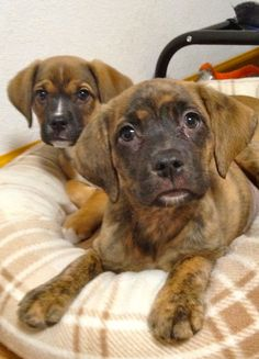 Vonda and her siblings are Boxer mix pups that are ready to be adopted by you!   Adopt today at http://www.aheinz57.com/adoptablepets.htm