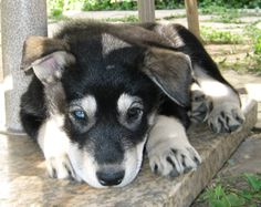 Captain the Alusky, Alaskan Malamute crossed with a Siberian Husky as a puppy.