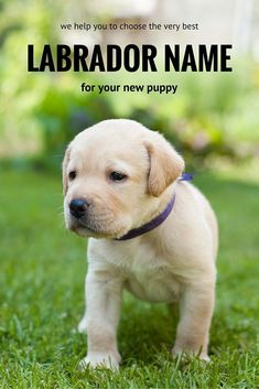 labrador names - help with naming your new puppy
