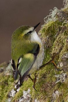 Male Rifleman, New Zealand's smallest bird