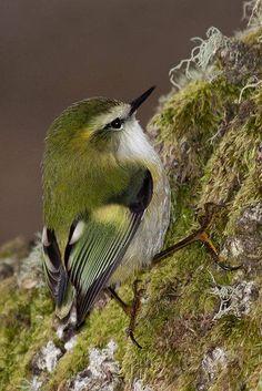 Male Rifleman, New Zealand's smallest bird