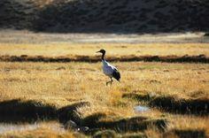 Black necked crane in Tibet, it is one of  the endangered bird in Tibet
