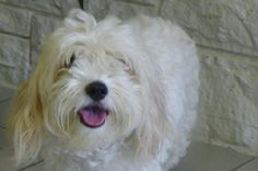 Katie & Kevin-112038 &112039 is an adoptable Maltese Dog in Newark, NJ. When an owner of two young dogs suffered a severe financial setback, she had no recourse but to surrender her beloved pets to or...
