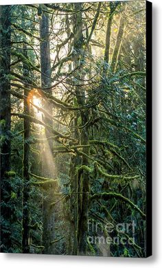 Enchanting Canvas Print  light coming through the trees / Canvas Art By Alanna Dumonceaux