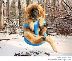 Leonberger puppy. :) She looks like she is wearing a hat!