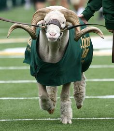 The CSU mascot is the Ram. Look for Cam the Ram at all the big CSU events, including homecoming and sporting events! Cam got his name from acronym of the previous name of our university, then called Colorado Agricultural and Mechanical--CAM.