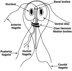 how to know if you have giardia