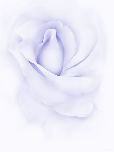 Delicate purple Rose flower photography art for your home or office decor.