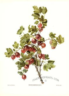 Коллекция картинок: Vintage Prints of Fruit by Reifel