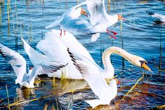 joutsen, swan, laulujoutsen, lintuvalokuva, bird, scandinavian birds, luontokuvaus, eläinkuvaus, animal, eläin, lintu, luontokuvat, nature picture. Animals, Animales, Animaux, Animal, Animais