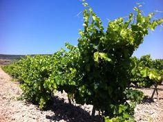 Agosto, nuestros viñedos cada vez más hermosos. A poco más de un mes para iniciar la  vendimia ;-)