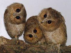 baby owls, Ahhhh!!