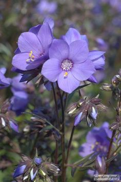 Polemonium Bressingham Purple (Polbress). Purchased Aug 2015 from The Walled garden opposite The Talbot Inn Mells for £3.95 x 2. These look like they are coming up again (April 2016)