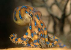 Awesome picture of Blue-Ringed Octopus - meowlogy Kraken Octopus, Octopus Squid, Octopus Art, Baby Octopus, Pictures Of Sea Creatures, Octopus Photography, Octopus Photos, Vida Animal, Beautiful Sea Creatures