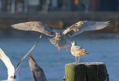 """""""The breeding population of the glaucous gull — which looks like your average seagull — has halved in the Canadian Arctic since the 1980s. Several contaminants, plus other threats that endanger the gull, like global warming and new parasites in the environment, work together to harm the gull."""" http://www.nunatsiaqonline.ca/stories/article/65674poisonous_chemical_cocktails_still_threaten_arctic_bird_populations/"""