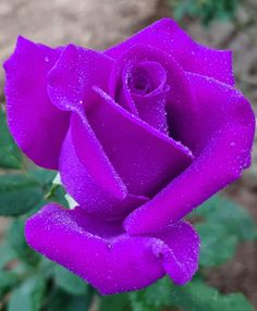 Beautiful and rare rose