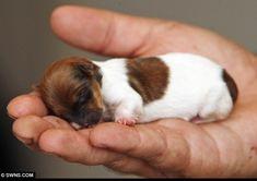 el perro más pequeño del mundo ,Chihuahua, mascota,