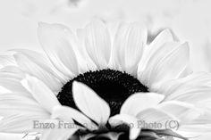 sunflower, black and white