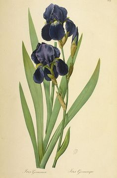 Pierre-Joseph Redoute - Iris Germanica - from a book of plates on the Liliaceae family.