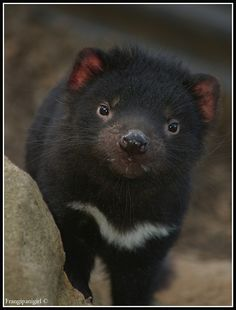 Gorgeous Baby Tasmanian Devil by ~frangipanigirl on deviantART