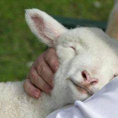 Lamb Love