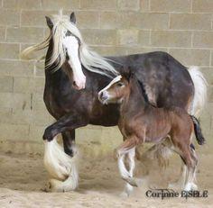 silver dapple Gypsy mare and foal