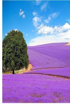 Lavender fields provence...