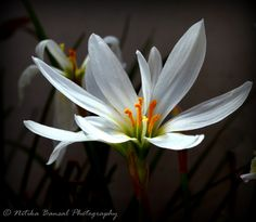 White Rain Lily by Nitika on 500px https://www.facebook.com/NitikaBansalsPhotography