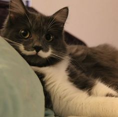 Hamilton, #Hipster #Cat, Gaining Fame for Incredibly Perfect Handlebar Mustache