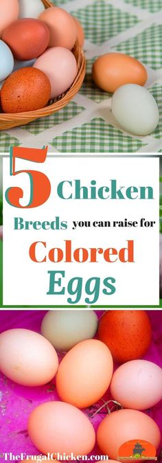 Want colored eggs in your coop every morning? Here's 5 breeds of chickens you can raise - they all lay colored eggs!