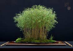 ideas for bonsai tree forest Bonsai Trees For Sale, Bonsai Tree Care, Bonsai Forest, Tree Forest, Garden Terrarium, Bonsai Garden, Moss Garden, Garden Pots, Bamboo Trellis