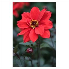 GAP Photos - Garden & Plant Picture Library - Dahlia 'Bishop of Llandaff' - GAP Photos - Specialising in horticultural photography
