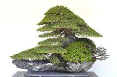 """""""Pinus,"""